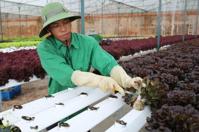 TrÓng rau tách biÇt khÏi ¥t tr°Ûc m¯t thun lãi nh°ng liÇu có bÁn vïng, nông dân ch° bi¿t. Mai Vinh